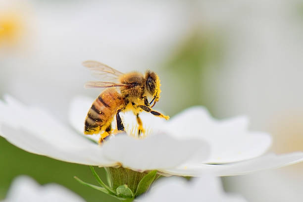Honey bee Honey bee collecting pollen from white cosmos flower. pollination stock pictures, royalty-free photos & images