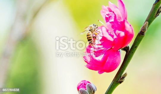 Honey bee pollinating pink peach blossoms.