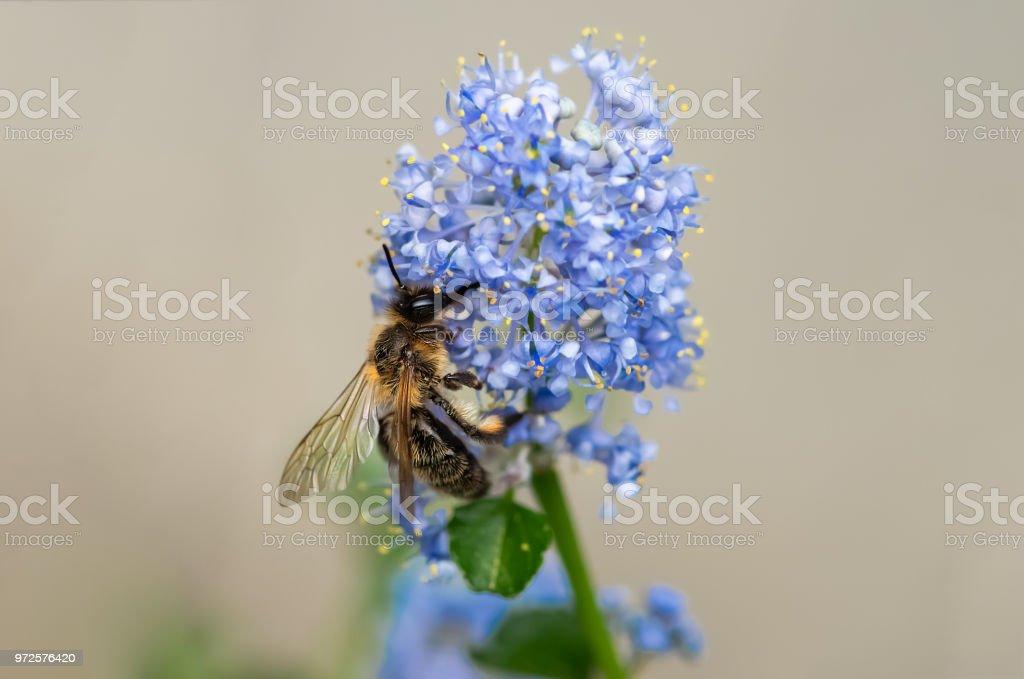 Honey bee.. stock photo