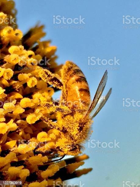 Photo of honey bee pollen nirvana