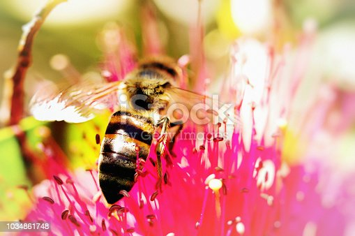 A honey bee perches on a callistemon or bottle-brush flower to gather nectar and pollinate at the same time.