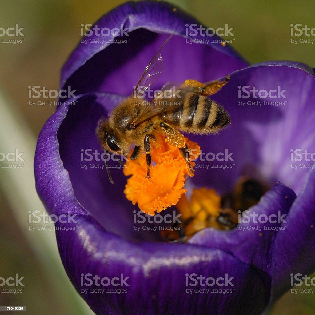 Honey Bee pollinating a Wild Purple Crocus royalty-free stock photo