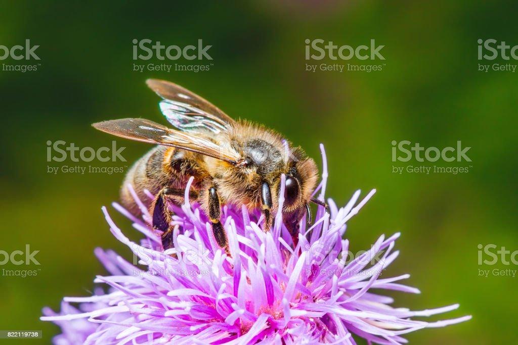 Honey Bee Pollinating Agrimony Flower stock photo