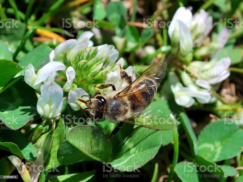 Honey Bee Pollinating Clover Leaf Bloom Color Macro royalty-free stock photo