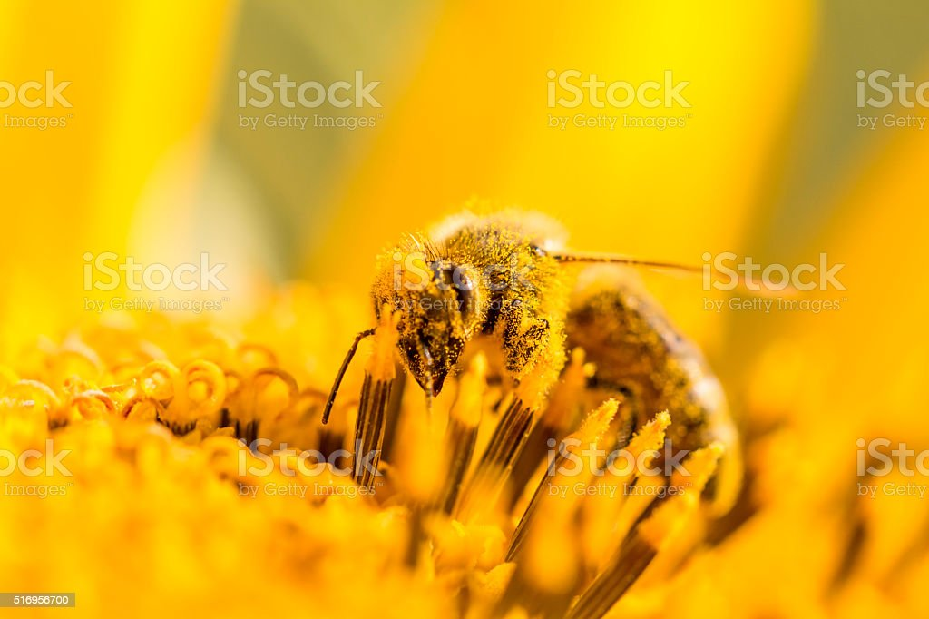 Honey bee pollinating covered with pollen looking down in flower stock photo