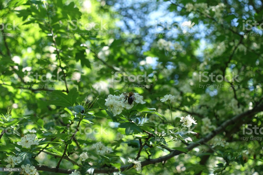 Honey bee pollinating flowers of hawthorn in spring stock photo
