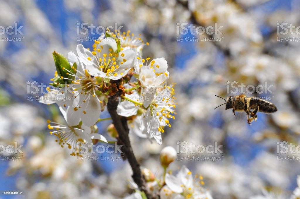 Honey Bee pollinating tree in full bloom zbiór zdjęć royalty-free