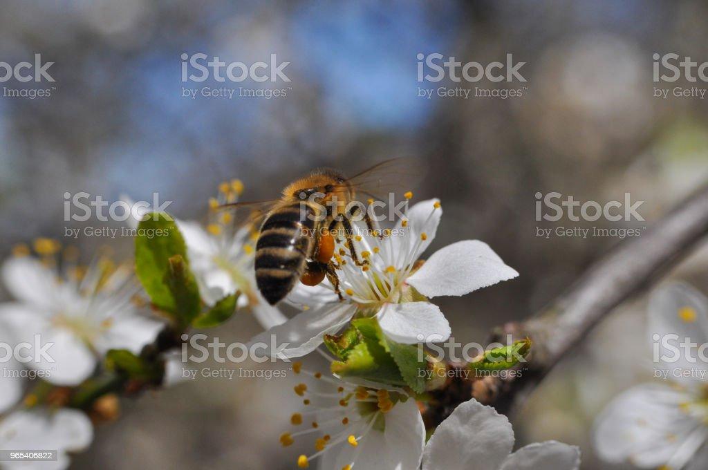 꽃에 있는 꿀 꿀벌 pollinating 나무 - 로열티 프리 개화기 스톡 사진