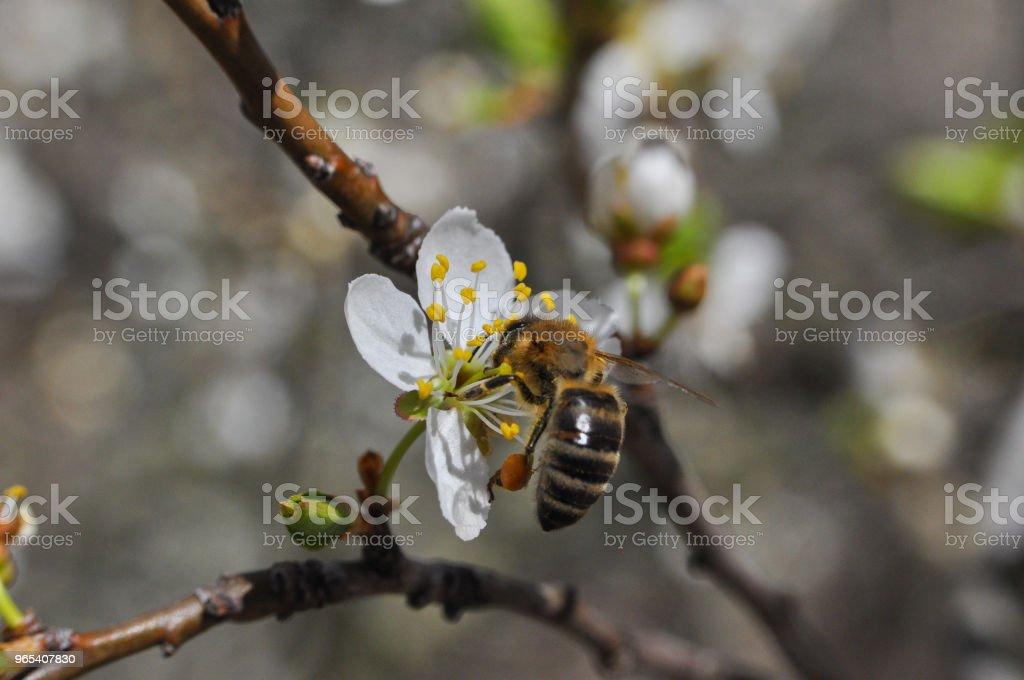 Honey Bee pollinating tree in full bloom royalty-free stock photo