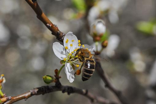 꽃에 있는 꿀 꿀벌 Pollinating 나무 개화기에 대한 스톡 사진 및 기타 이미지