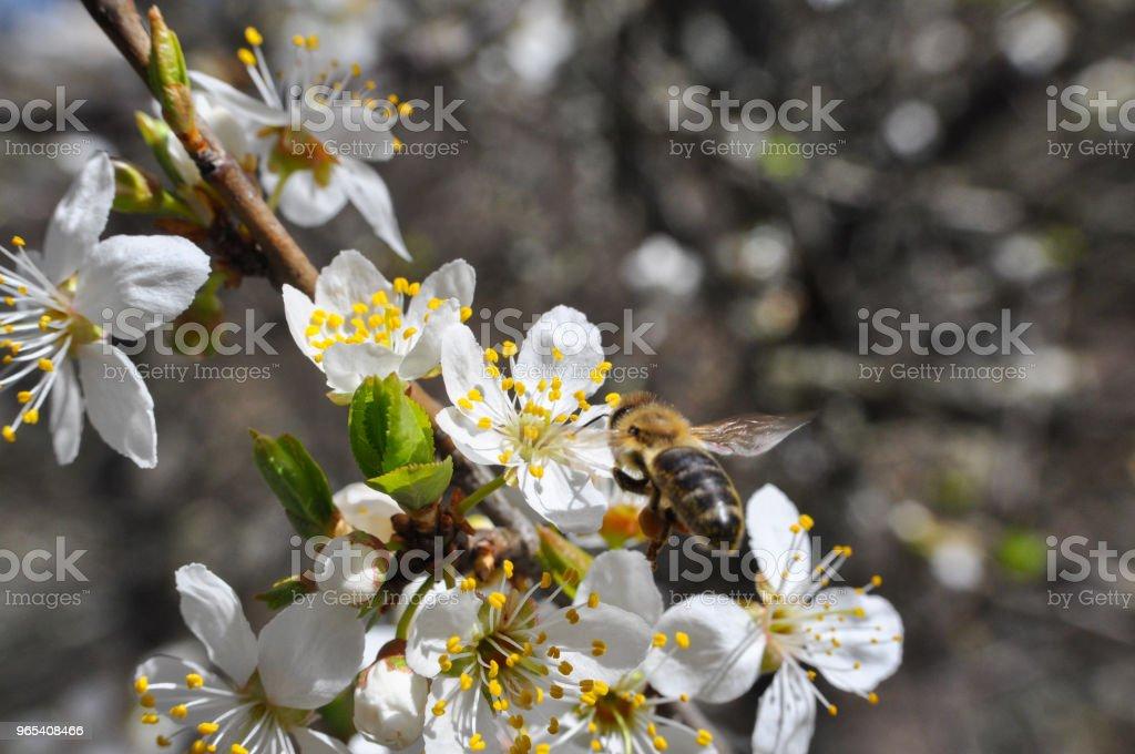 Honey Bee pollinating tree in full bloom zbiór zdjęć royalty-free