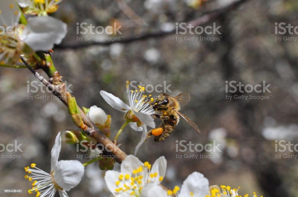 蜂蜜蜜蜂授粉樹盛開 - 免版稅光圖庫照片