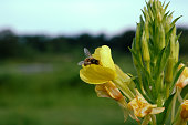 Picture of a honey bee pollinating a yellow Evening Primrose flower in an Illinois forest preserve in summer