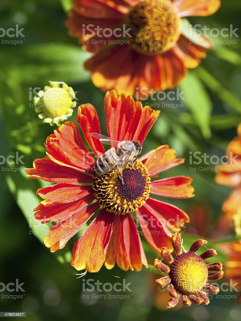 honey bee sips nectar from gaillardia flower royalty-free stock photo