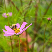 Honey bee sitting on the pink cosmos flower.