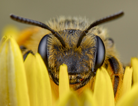 Honey bee sleep after pollination
