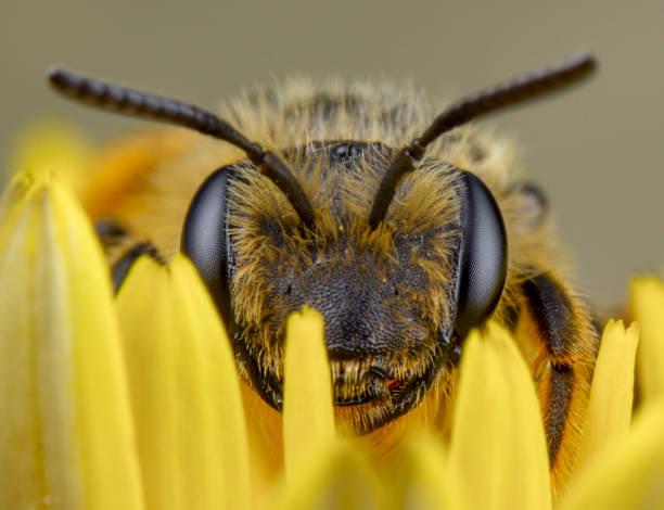 honey bee sleep after pollination - ape domestica foto e immagini stock