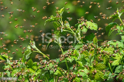istock Honey Bee Swarm on Wild Blackberry Bushes in Oregon 1314907457
