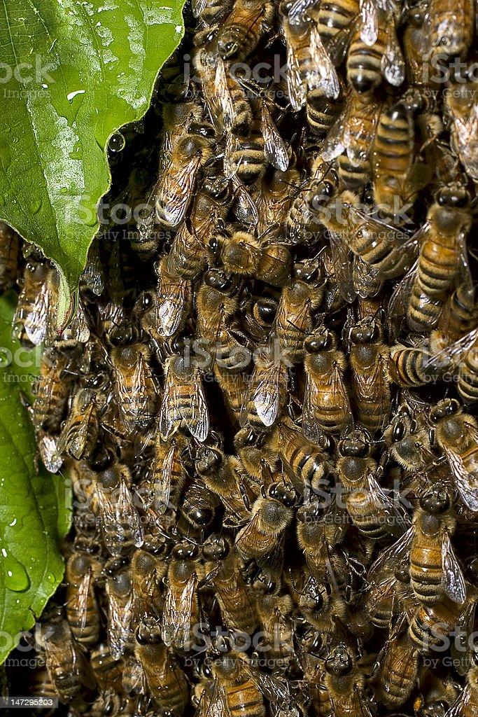 Honey Bee Swarm with Dogwood Leaves stock photo