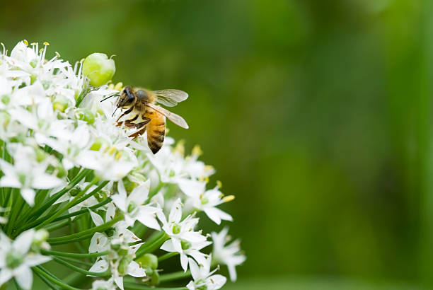 Honey bee visiting various flowers. stock photo