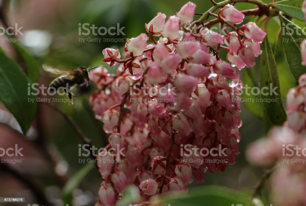 Abeille à miel visites un japonica de pieris floraison parfumée photo libre de droits
