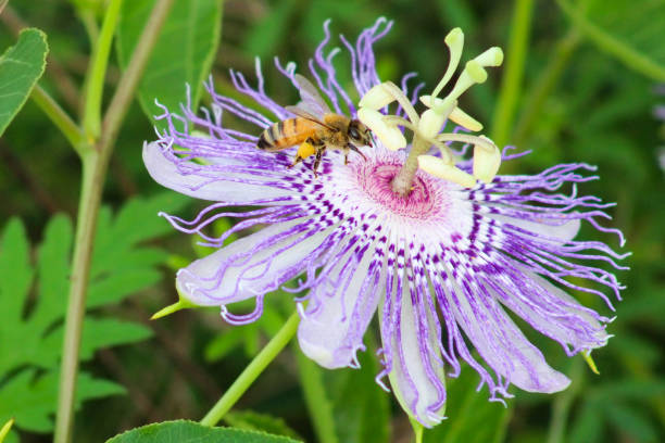 honey bee with pollen on passion flower - stamen stock photos and pictures