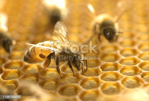 Western Honey Bee (Apis mellifera) with a Varroa mite (Varroa destructor).