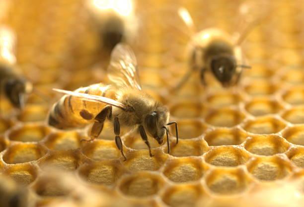 honey bee with varroa mite - ape domestica foto e immagini stock