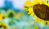 Honey bee working on a sunflower