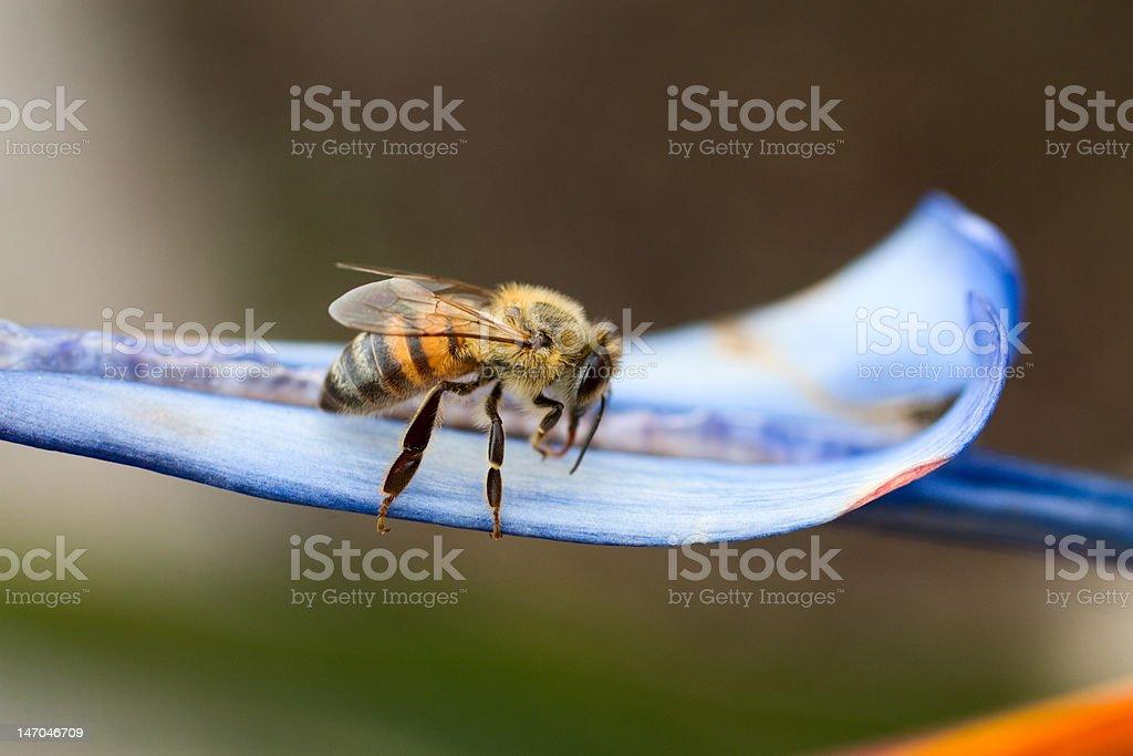Honey Bee XXL stock photo