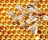 Honey bees and a drone