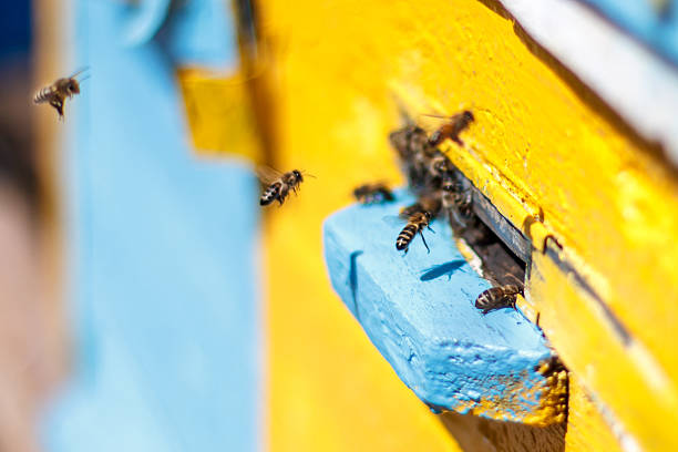 Honey bees before the hive entrance Honey bees swarming and flying around their beehive working animal stock pictures, royalty-free photos & images