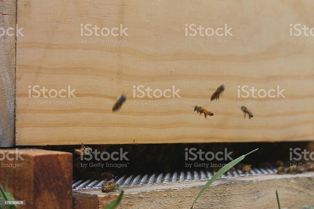 Honey bees coming back to their hive stock photo