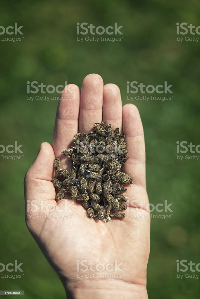 Honey bees dying royalty-free stock photo