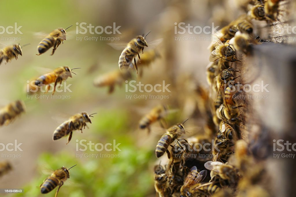 honey bees flying close up of honey bees flying Animal Body Part Stock Photo