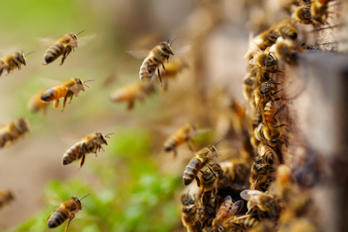 Honey Bees Flying Stock Photo - Download Image Now