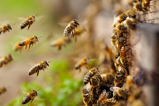 honey bees flying stock photo