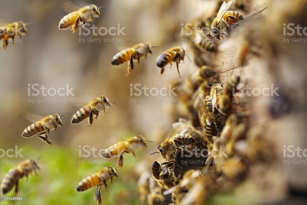 honey bees flying royalty-free stock photo