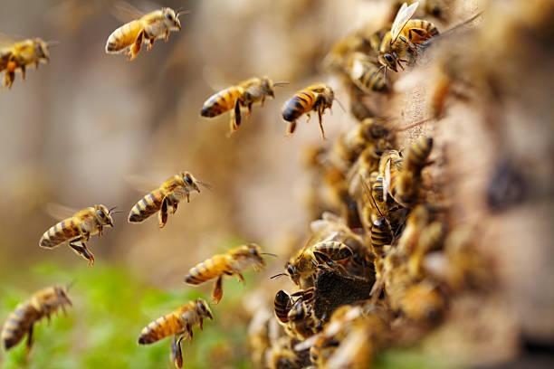 honey bees flying stock photo