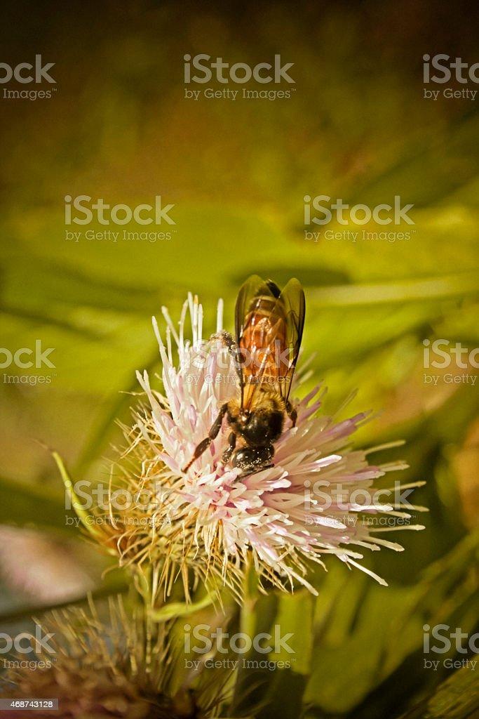 Honey bees, honeybees on Cirsium palustre, marsh thistle Flower stock photo
