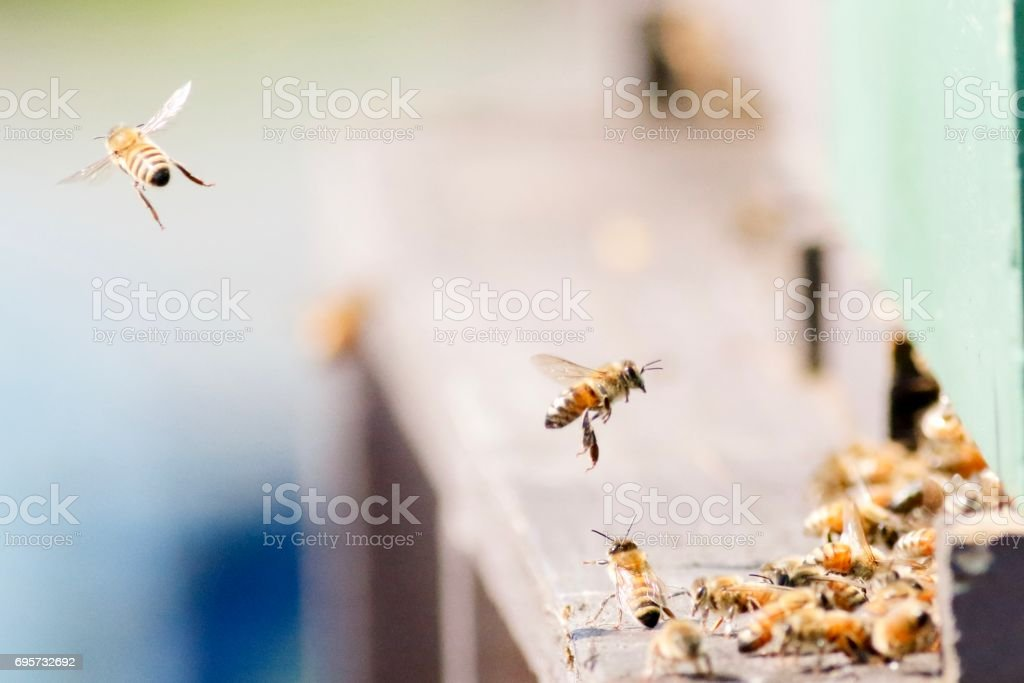 Honey Bees in Flight stock photo