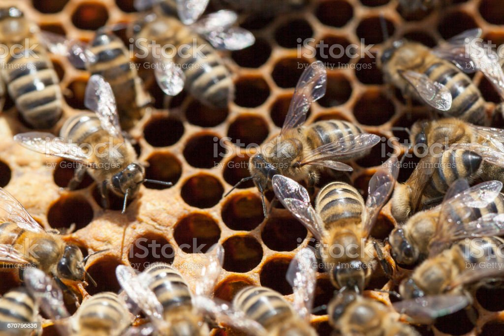 Honey bees inside the beehive stock photo