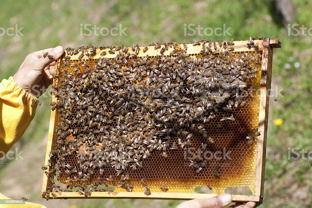 Honey Bees On  A Frame royalty-free stock photo