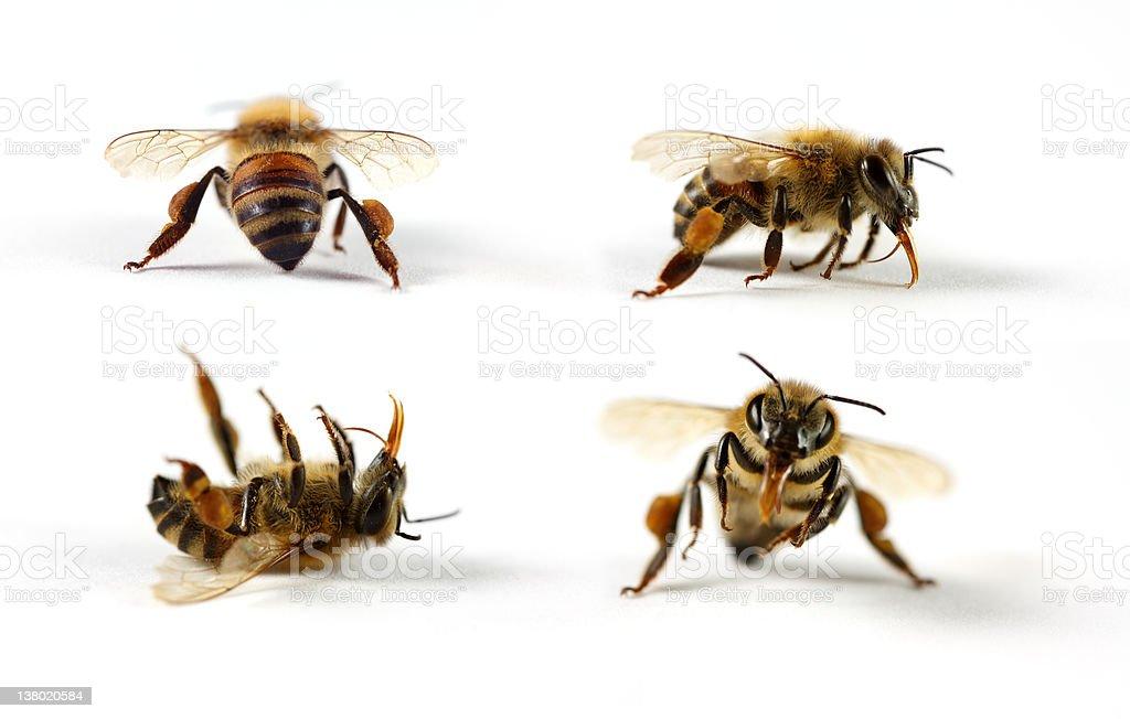 Honey Bees royalty-free stock photo