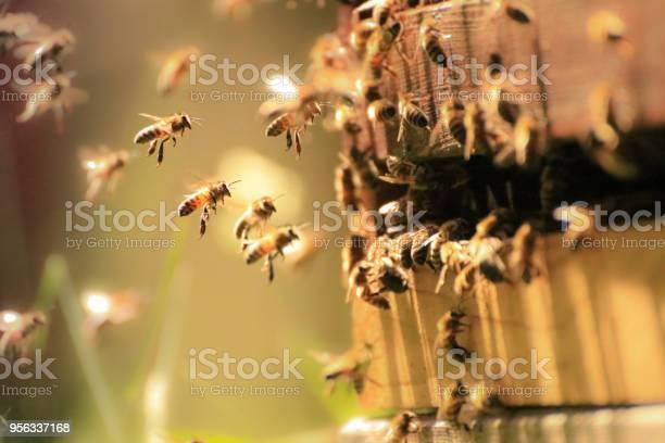 Photo of Honey Bees