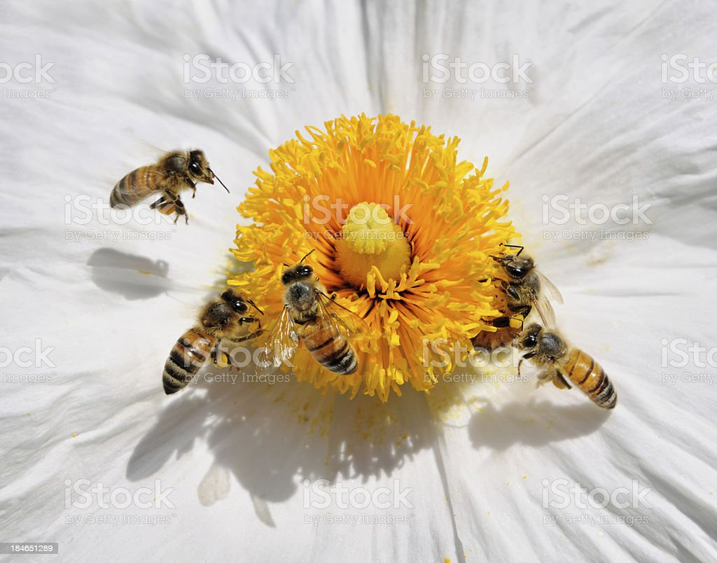 Honey Bees pollinating a Wild Flower (Macro) stock photo