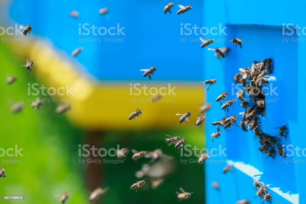 Honey bees swarm in the hive. Yellow and blue beehives. The conceptual theme is food production and agricultural production. royalty-free stock photo