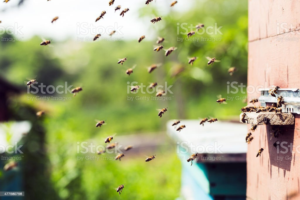 Honey bees swarming and flying around their beehive stock photo