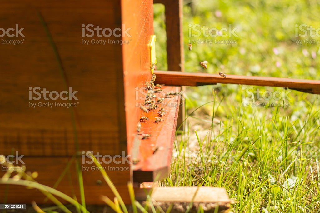 Honey bees swarming and flying around their beehive royalty-free stock photo