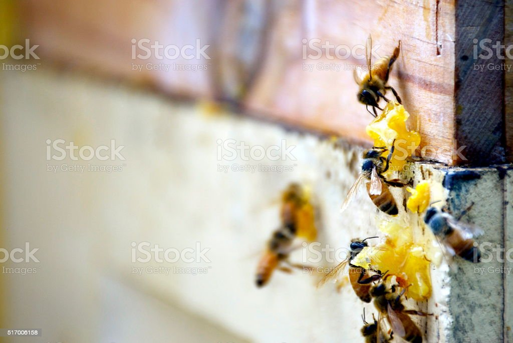 Honey Bees with Honeycomb stock photo